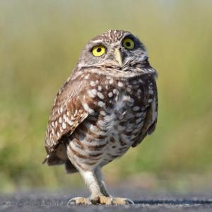 burrowing_owl_sq