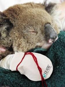 koalasinperil