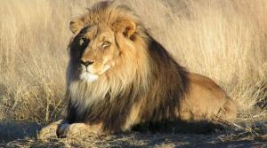 1024px-Lion_waiting_in_Namibia_crop