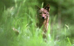 coyotehunt