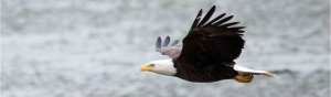 bald-and-golden-eagle-information