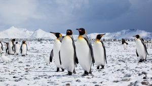 emperor-penguins (1)